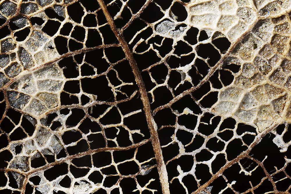 Venation Patterns in Dead Leaf, by D3