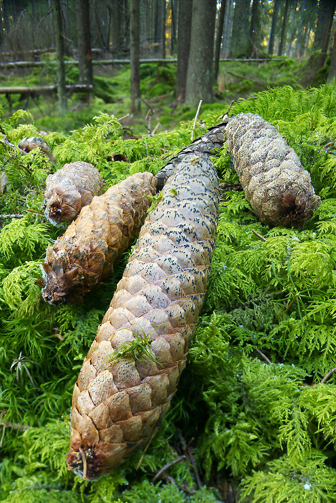 Spruce Cones on Mossy Forest Floor, by D3